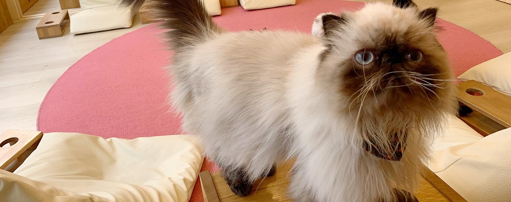 Nekocafe Cat tail